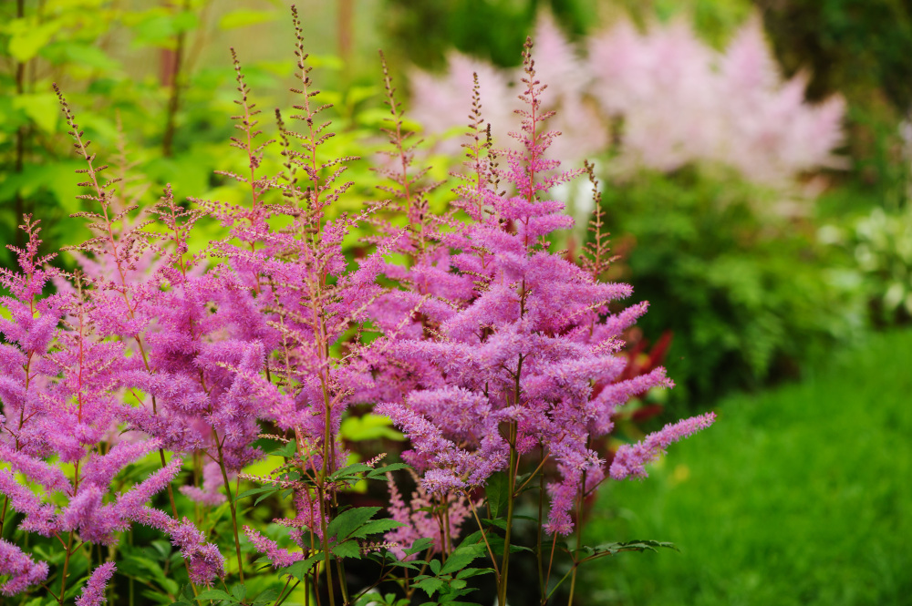 kolorowe byliny w ogrodzie